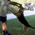 犬を飼う上で気を付けたい権勢症候群・α気質