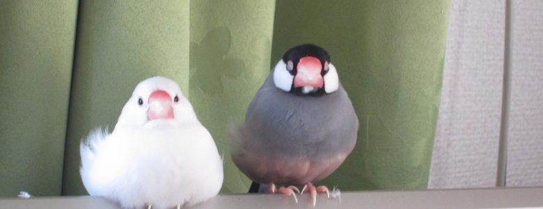 文鳥の種類で飼いやすさは変わる?意外と多い文鳥の種類