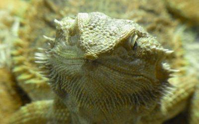 フトアゴヒゲトカゲは飼いやすいの?飼育方法を確認しよう