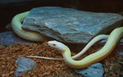 白蛇が落とし物(遺失物)として届け出。ペットとして判定出来たため