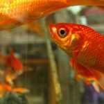 金魚の飼い方を知ろう!縁日やペットショップで出会った金魚と暮らす為に
