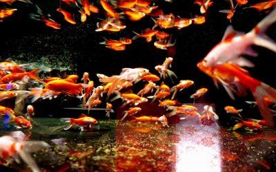 金魚にあげれる餌は何がある?回数や量についても