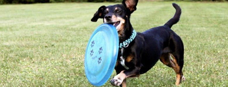ダックスフンドとの遊び方。他の犬とどう違う?