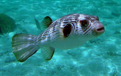 ペットで飼えるフグの種類。基本的に淡水魚?