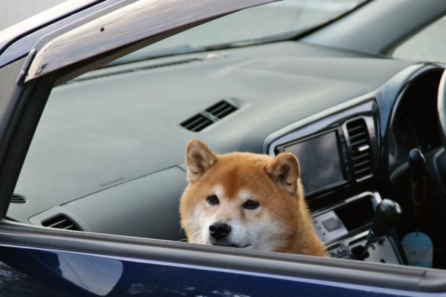 慣れれば犬とドライブも楽しめる