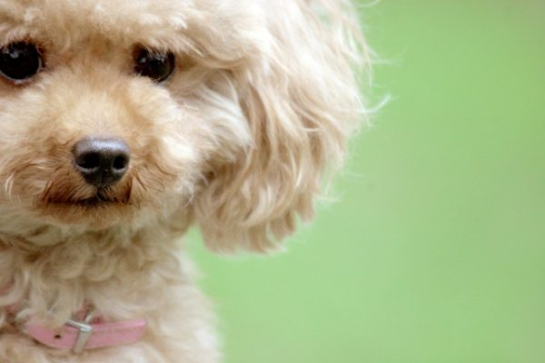 子犬のときはヘアスタイルは決まらない