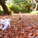 トイプードルの散歩!適切な方法と注意点