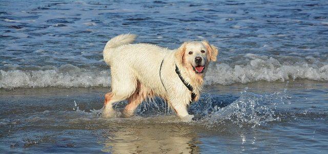 ゴールデンレトリーバーの水遊び。川や池で泳ぐとき