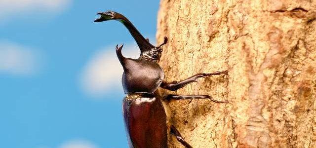カブトムシ(成虫)の飼い方。飼育ドコの質が重要!