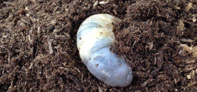 カブトムシの繁殖。幼虫を無事に取り出すには?