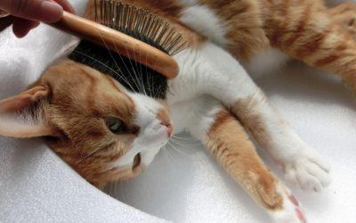 短毛種猫のブラッシングについて。短毛種でも必要なの?