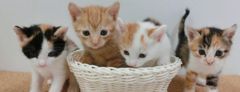 子猫が家に来た!お迎え当日に知っておいてほしい5つのこと