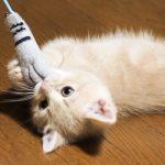 マンチカンの子猫の飼い方。おすすめの餌、しつけ方法